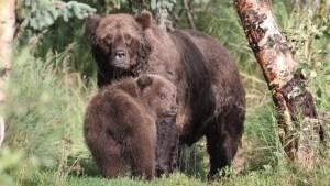 """""""La semana del oso gordo"""": Parque nacional en Alaska puso a competir a sus oseznos más pesados"""